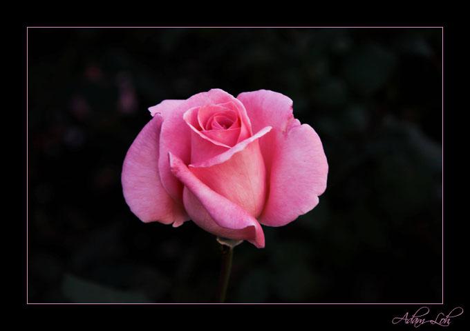 [Image: 2005_03_15_pink_flower.jpg]