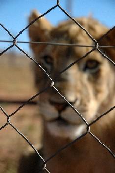 [Image: 7_Lion.JPG]