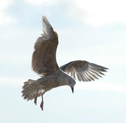 [Image: Seagull-Littlehampton10.jpg]