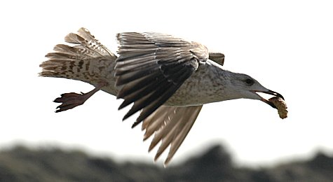 [Image: Seagull-Littlehampton15.jpg]