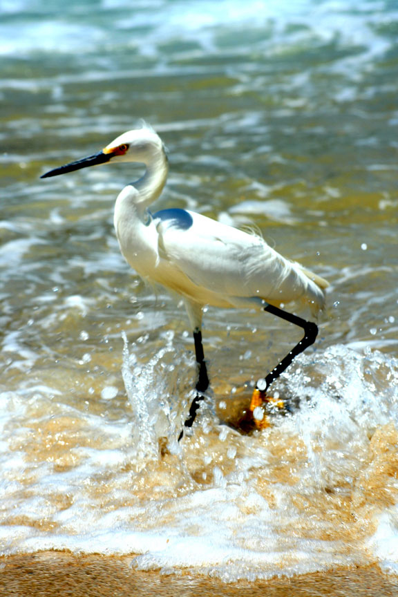 [Image: Snowy-Egret-(Yelapa)-copy-c.jpg]