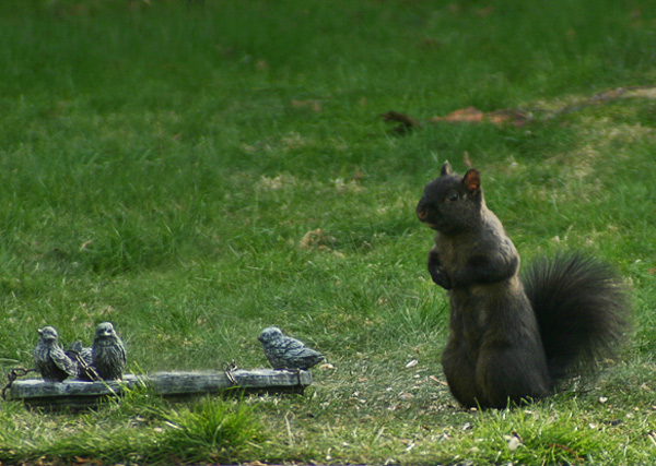 [Image: black-squirrel-013-web.jpg]