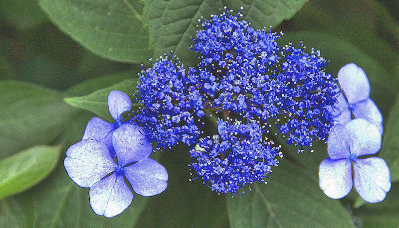 [Image: blueflowersSM.jpg]