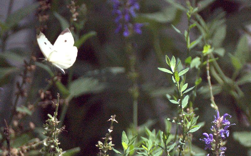 [Image: butterflySM.jpg]