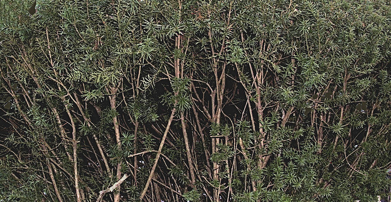 [Image: hedgebranchesSM.jpg]