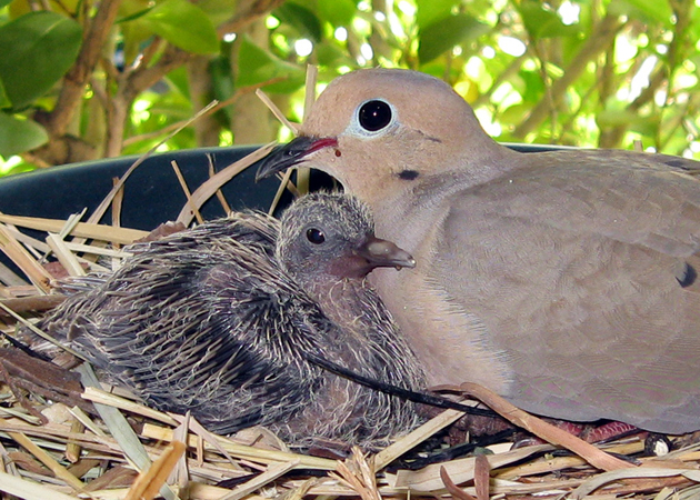 Food For Baby Mourning Doves