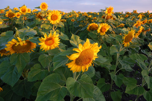 [Image: sunflowers3SM.jpg]