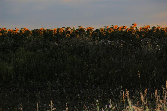 [Image: sunflowersSM.jpg]